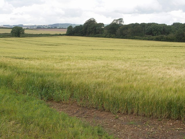 Barley Fields