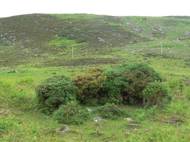Gorse bush on rocky hillside