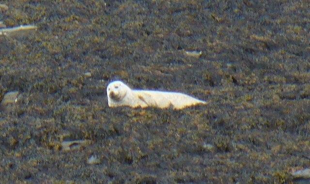 Basking Seal at Scarva Taing