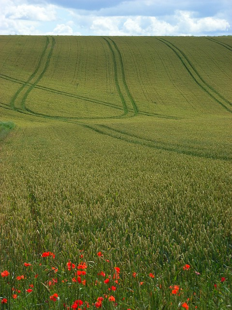 Poppies and wheat, Berwick St James