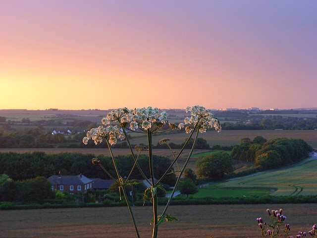 Hogweed at sunset, Ford Down