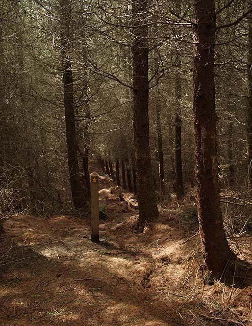 Footpath through conifers