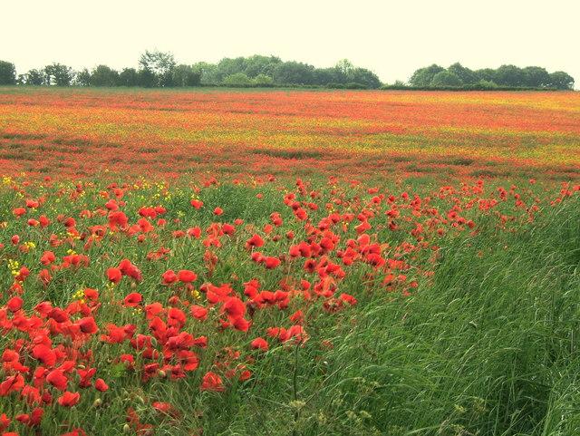 Poppies in Oilseed Rape
