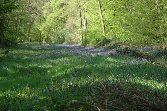 Bluebells at Hitch Wood