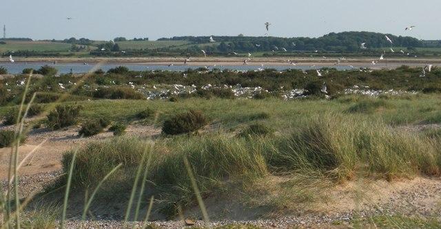The Tern Colony on Blakeney Point
