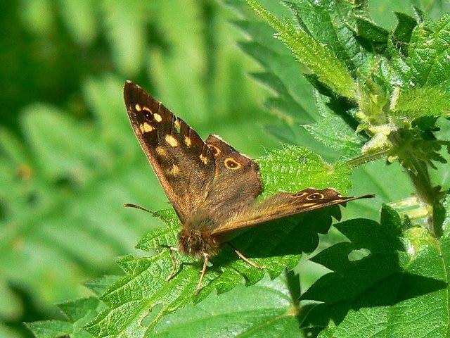 Butterfly on nettles, Bentley Wood