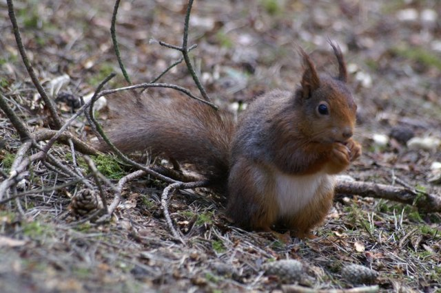Red Squirrel (Sciurus vulgaris), Formby