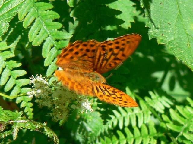 Butterfly on brambles, Bentley Wood