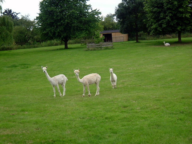 Llamas at Stoke Doyle