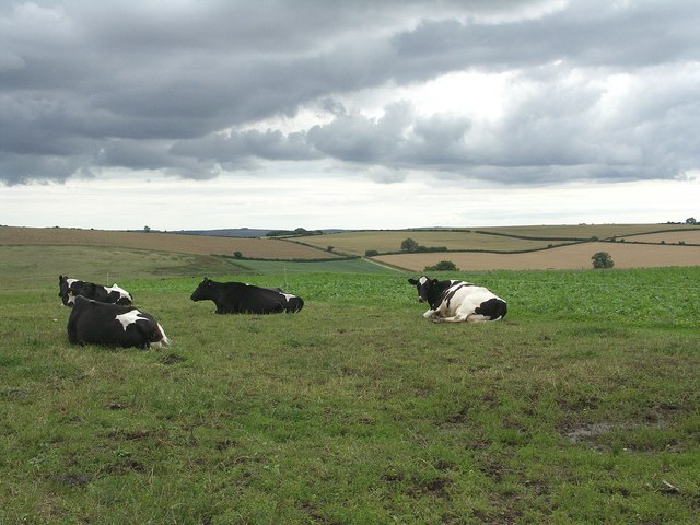 Cows Under The Brooding Sky