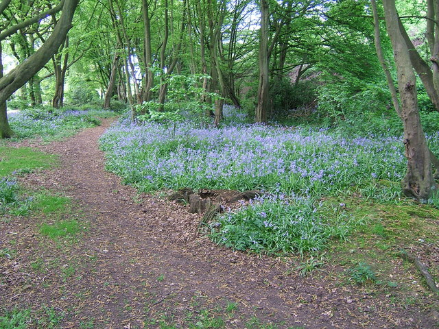 Bluebells in Lucas Wood North
