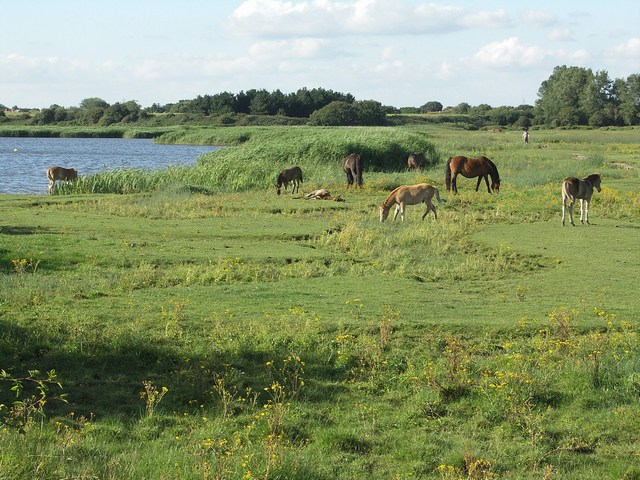 Horses on Stanpit Marsh
