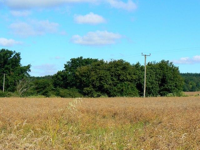 Oilseed rape awaiting harvest, Best's Farm, near Farley