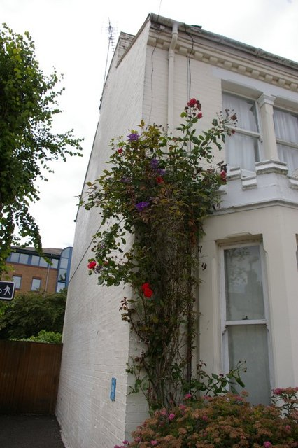 Roses and clematis on side of house in Clare Street