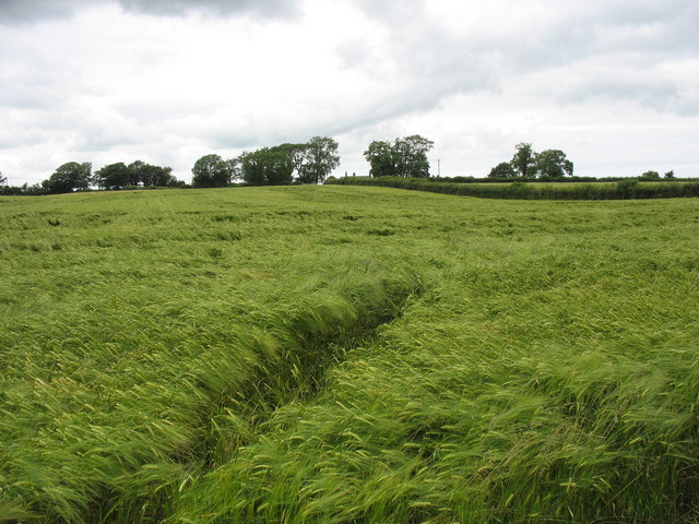View north across a field of barley