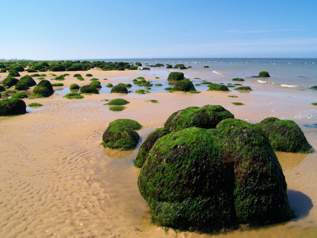 Unusual seaweed covered tufts on beach at Hunstanton.