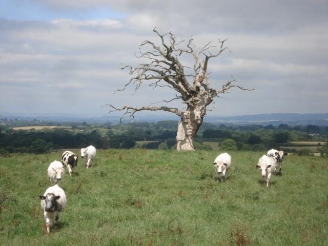 Dead tree at Underley Farm