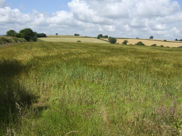 Field of barley waving in summer breeze