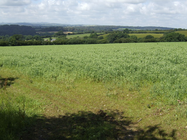 Fodder crop on Buckabarrow