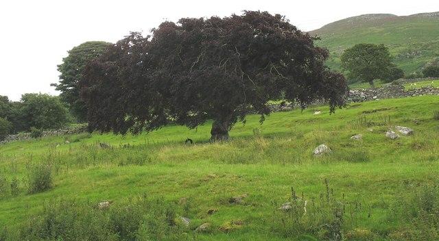 Ornamental trees in the former parkland of Plas Pentir at Rhiwlas