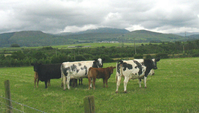 Cattle at Brithdir Mawr