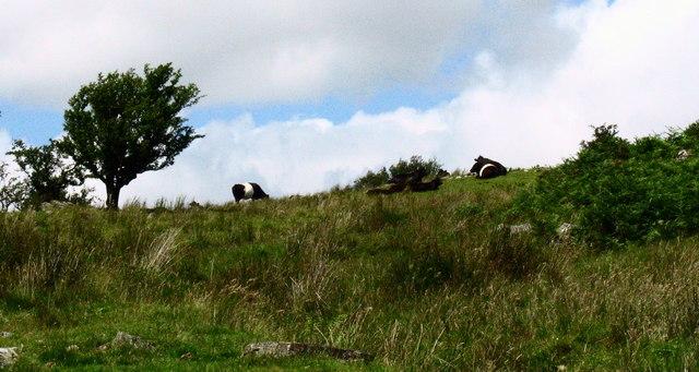 Belted Galloways at Bedd y Coedwr