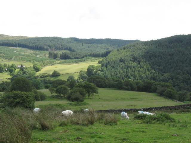 Sheep grazing on the ffridd east of Bedd y Coedwr