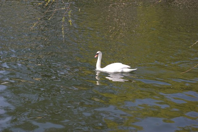Swan on river Cam