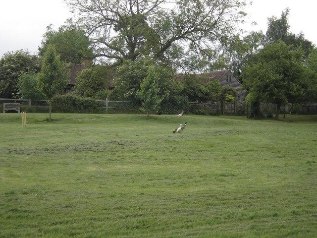 Ducks playing cricket at Risden Barn