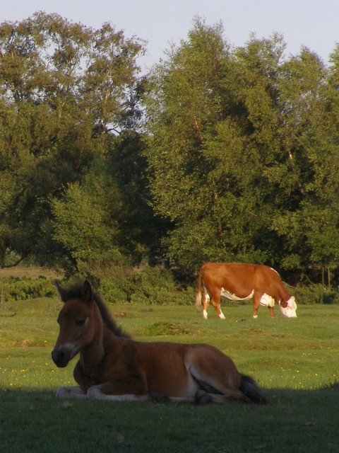 Grazing on Longwater Lawn, New Forest
