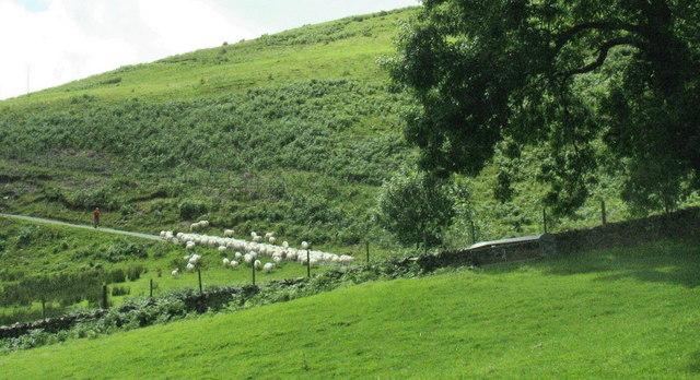 Sheep being driven down the road towards Bedd y Coedwr Farm