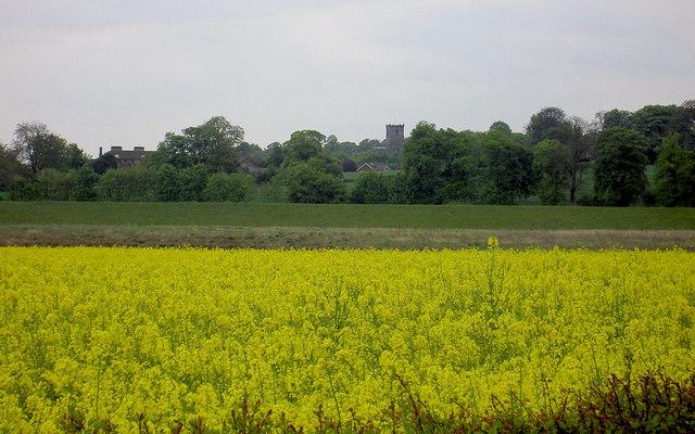 Rape crop Darfield.