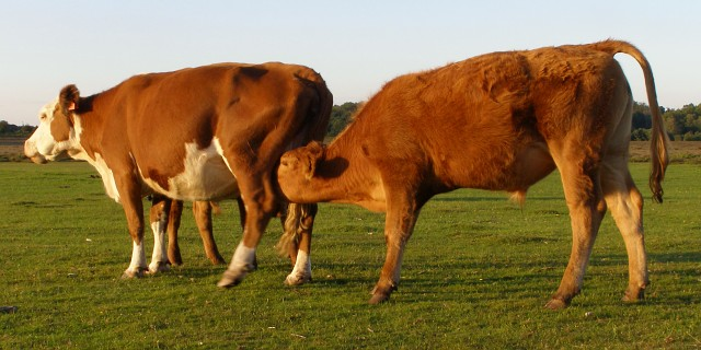 Cattle at Longwater Lawn, New Forest