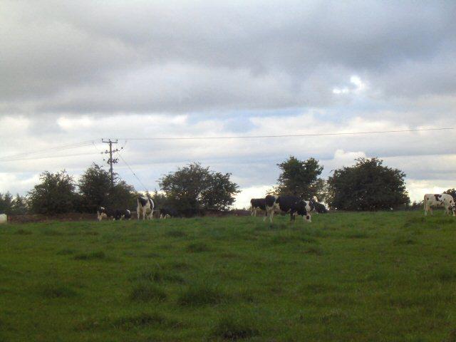 Cows near Twemlow Green