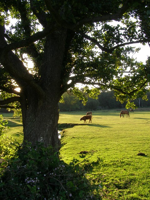 Summer evening sunlight at Longwater Lawn, New Forest
