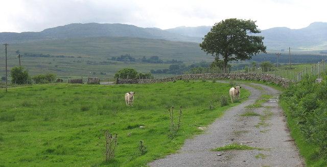 Bullocks on the Tyddyn-du farm road with the Rhinogydd in the background