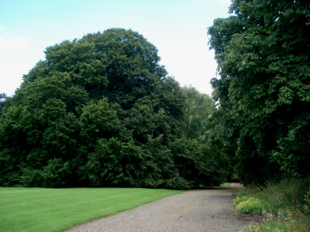 Cut Leaf Beech at Kyre Park