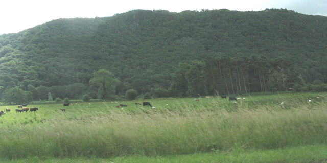 Cattle on reclaimed riverine meadows
