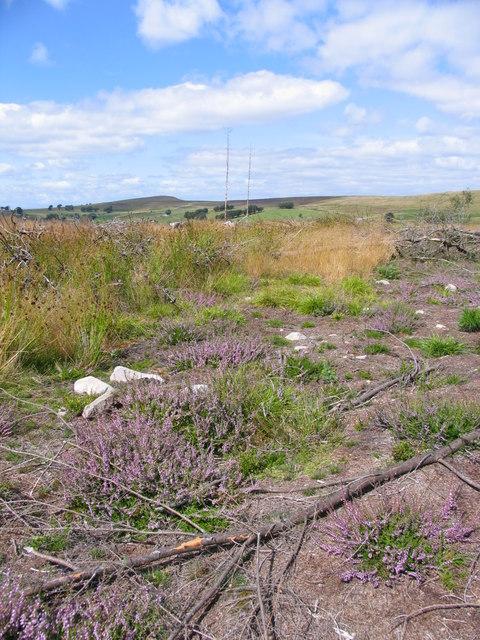 Heather regeneration following forestry clear felling