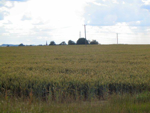 Power lines beyond cornfield