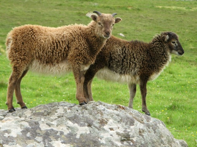 Soay sheep on Hirta