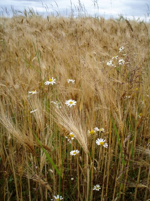Daisies and ripening barley