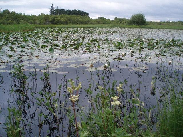 Water Lilies on small Lochan, Kinnordy
