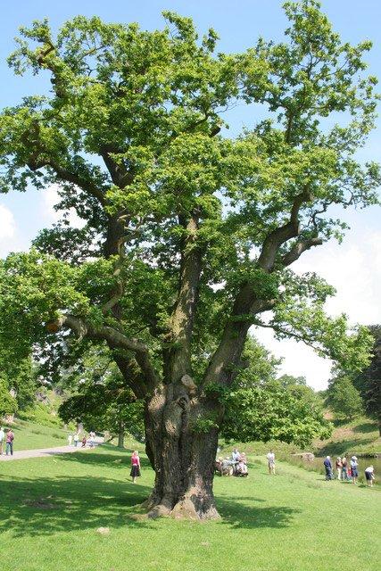 Oak Tree, Bradgate Country Park
