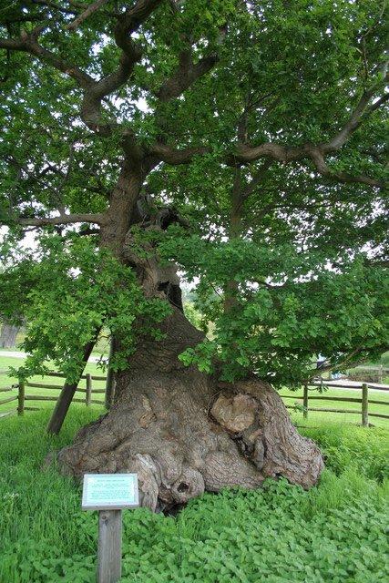 Queen Adelaide's Oak, Bradgate