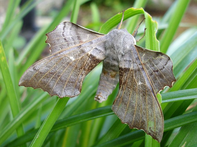 Female Poplar hawk moth (Laothoe populi)