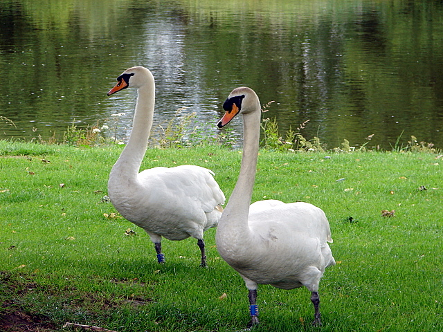 Swans beside the Wye at Builth Wells