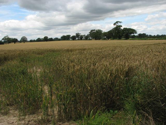 Wheat field near Tunstead