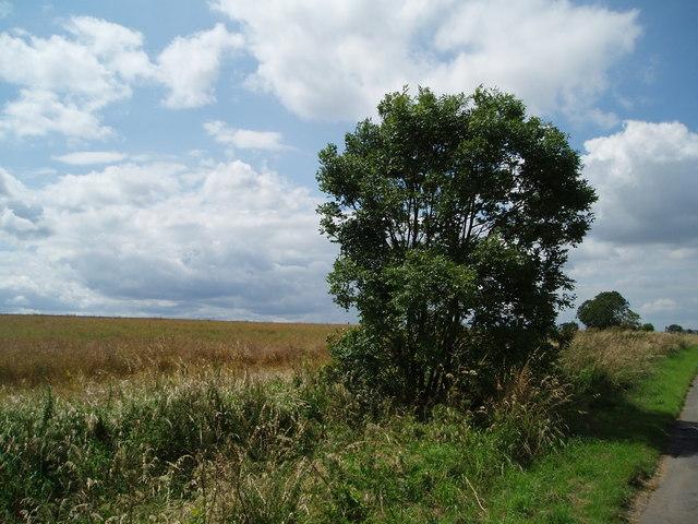 Lone bush and wheat field