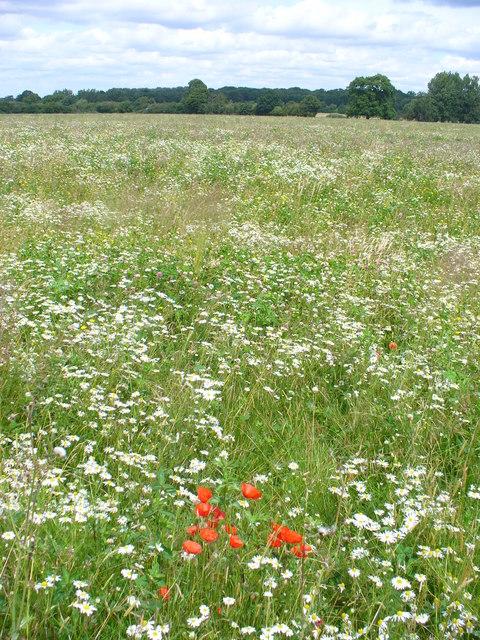 Wild Flower Meadow, West Horsley